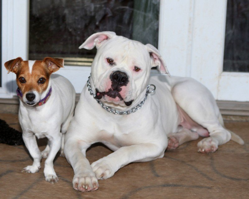 American Bulldogs in Redding ,CA-image.