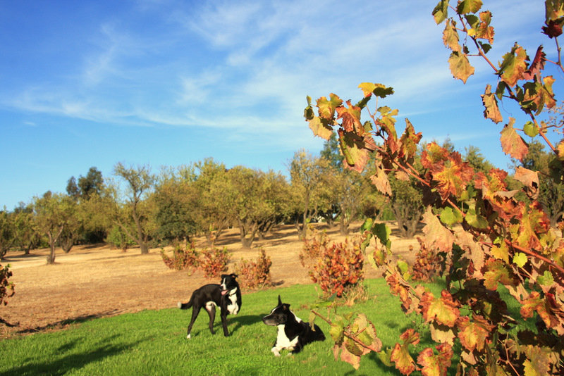 Border Collies and Siberian Huskies Merced, CA-image.