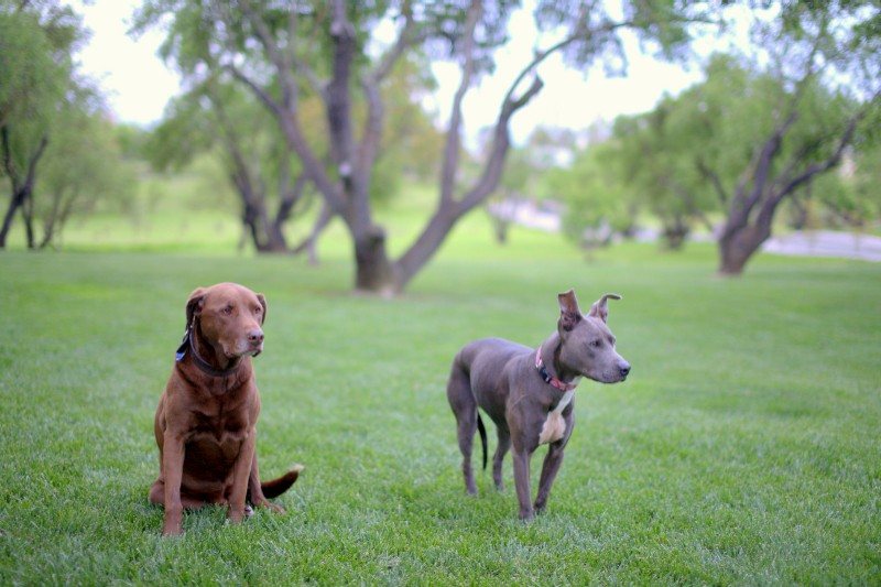 Dogs in a field-image.