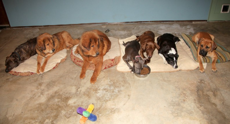 South African Boerbel  with other dogs training-image.