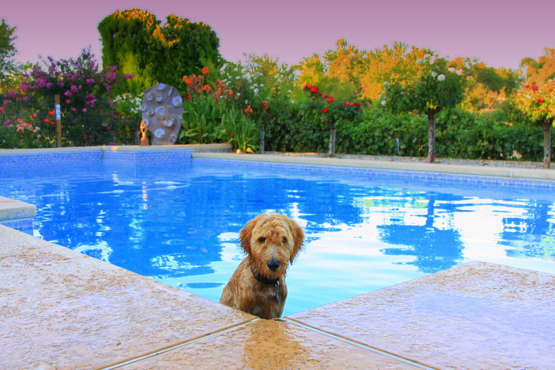 Granite Bay  Goldendoodle-image.