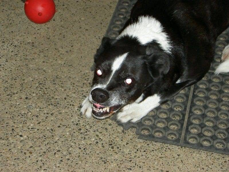 aggressive border collie image