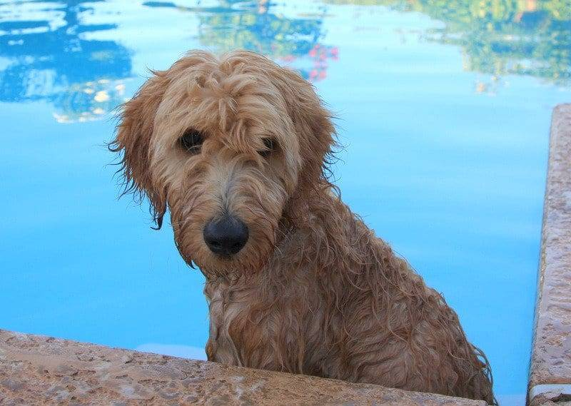 HAGEN THE GOLDENDOODLE