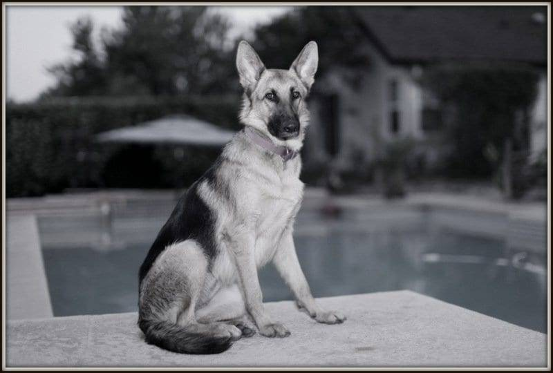 black and white german shepherd image