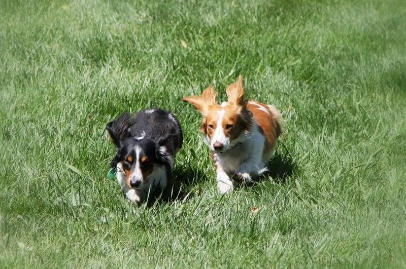 Dachshunds running image